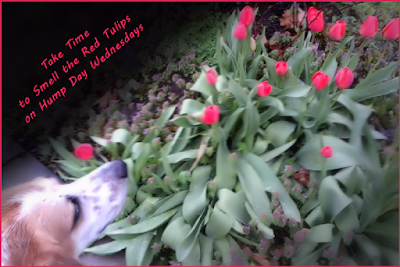 My Dog Valentino Takes Time to Smell Red Tulip Flowers