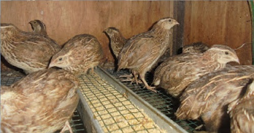 burung puyuh siap telur