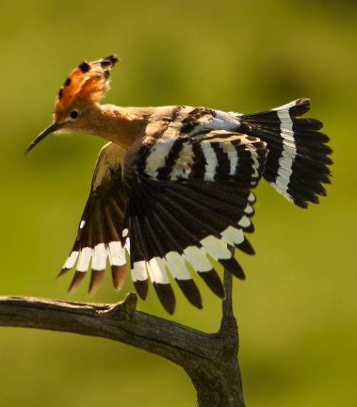 Birds of India - Image of Common hoopoe - Upupa epops