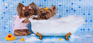 los yorkshire terrier tomando un baño en la tina