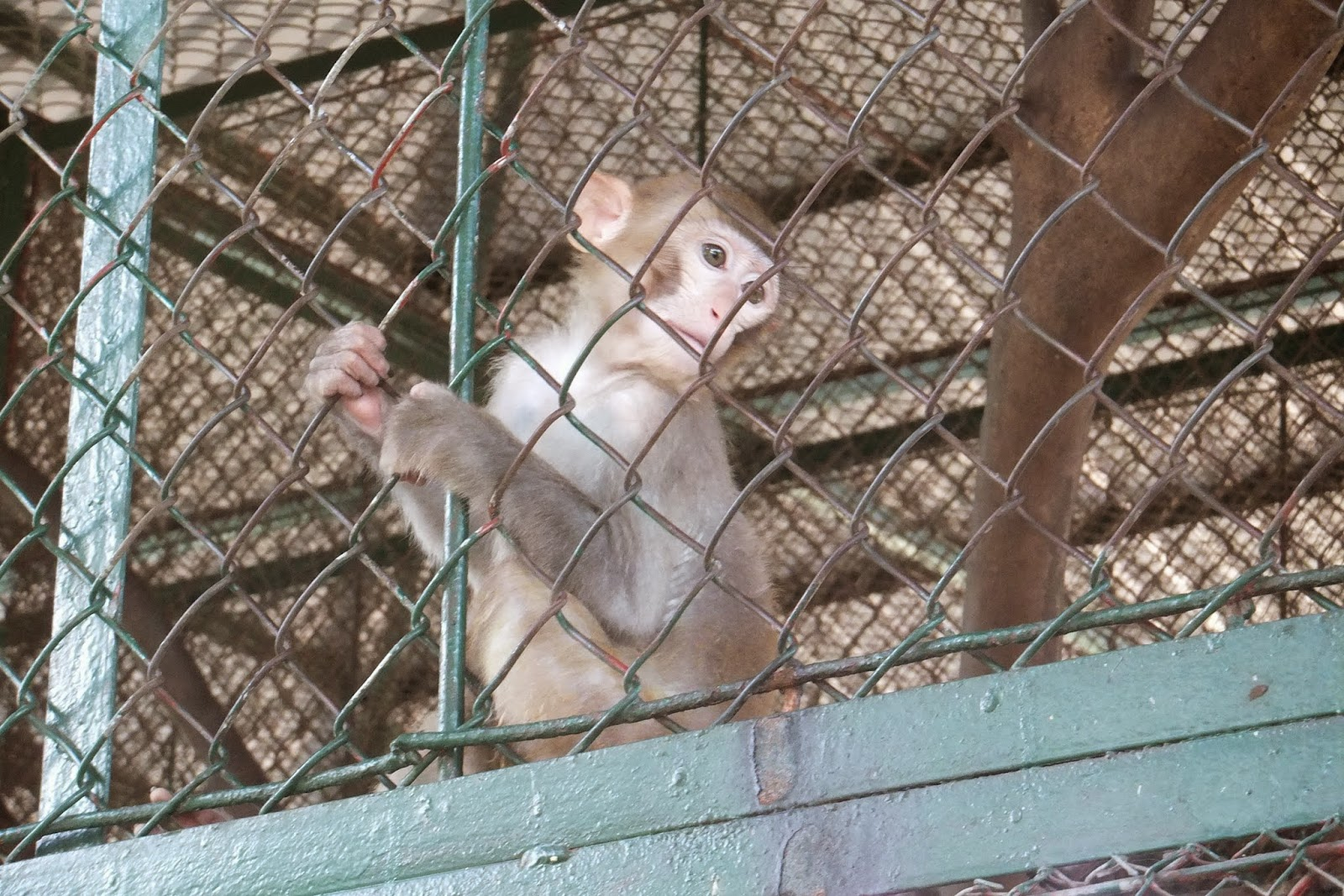 hanoi-zoo-monkey ハノイ動物園の猿2