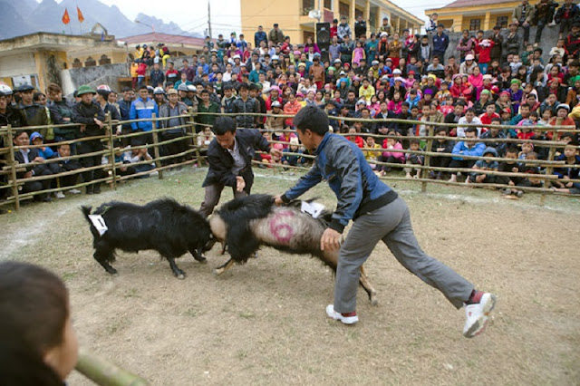 Goat fighting festival in Ha Giang 4