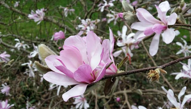 magnolia, pink magnolia