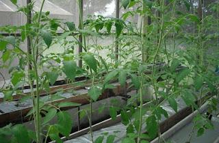 hydroponik tomat,nutrisi tomat hidroponik,pupuk hidroponik tomat,Cara Menanam Tanaman Hidroponik Tomat,