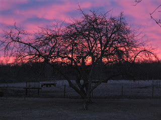A sunrise over a frost-covered pasture, behind an apple tree.