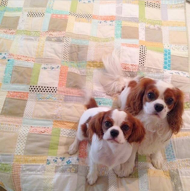 Blenheim Cavalier King Charles Spaniel on scrappy quilt