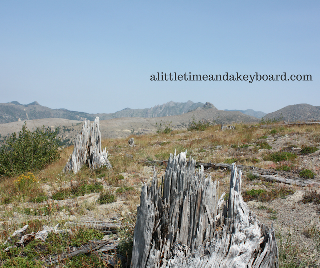 Trees that were shredded by the 1980 blast at Mount St. Helens