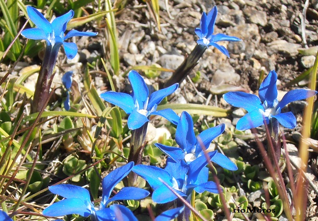 Flores de Gitanilla nevada Gentiana sierrae