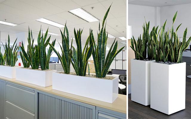 Marzua la sansevieria una planta decorativa muy poco for Decoracion con plantas de interior para oficinas