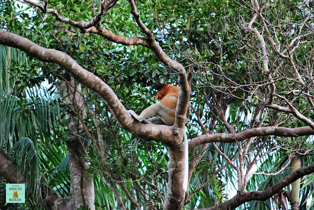 Mono Proboscis en Parque Nacional de Bako (Borneo, Malasia)