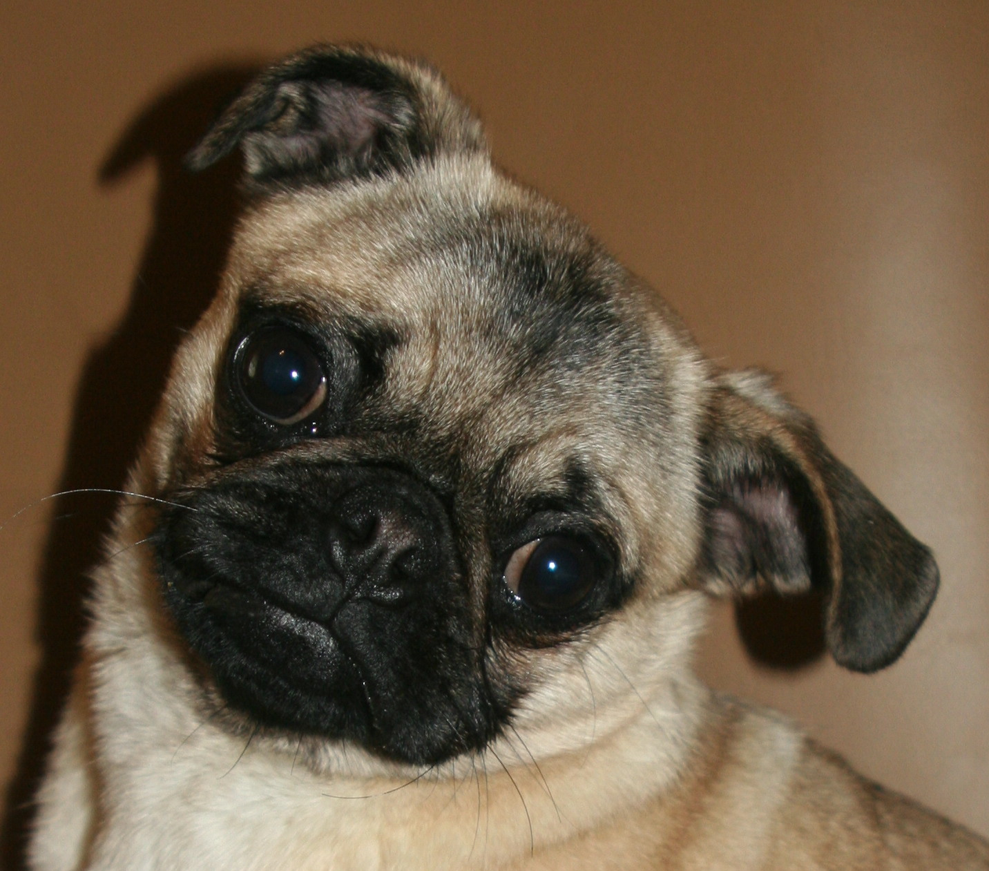 Warning Cuteness Overload An Irish Drinking Song About A Pug That