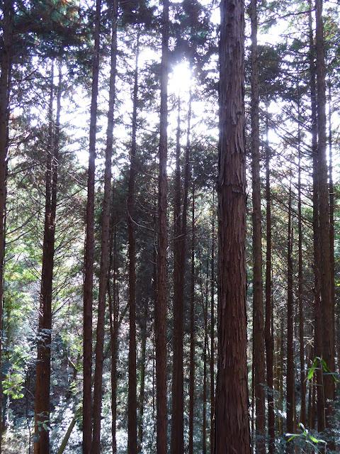 交野山 ハイキング スギ林
