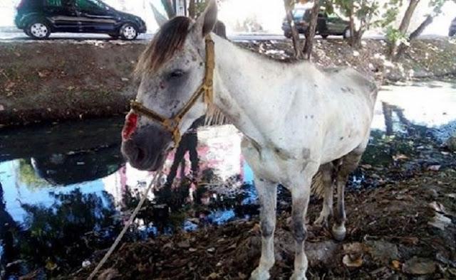 Cavalo que sofria maus tratos e resgatado e carroceiro é punido em Aracaju