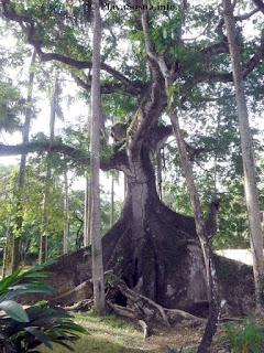 Sosua trees