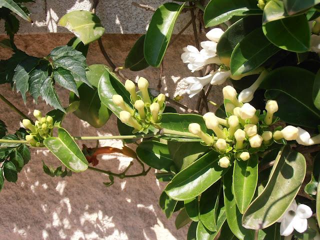 JAZMÍN-DE-MADAGASCAR-Stephanotis-floribunda
