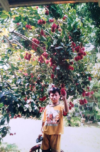 Pohon rambutan merupakan tanaman tropis yang menyukai panas sekaligus senang sekali denga Mengenal Karakter Pohon Rambutan