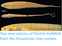 http://sciencythoughts.blogspot.co.uk/2014/12/two-new-species-of-electric-knifefish.html