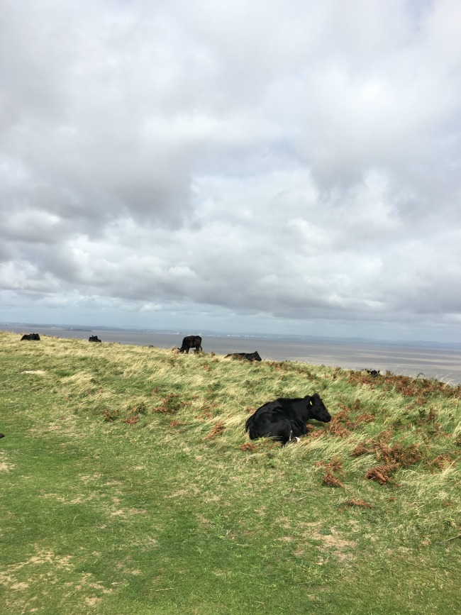 a-walk-on-Brean-Down-cows-grazing