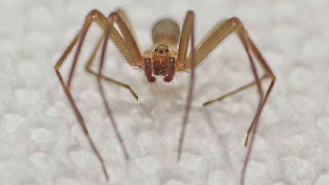Peligrosa araña pica a una mujer en EE.UU., la somete a 7 cirugías y la amputación de una pierna