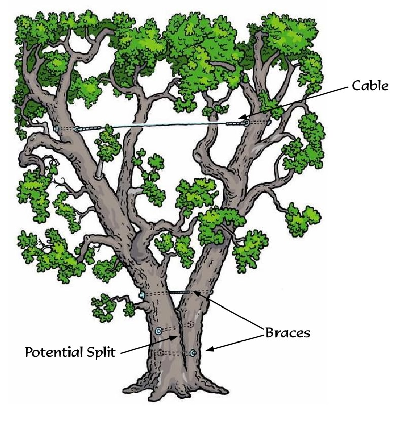 goodfellers tree and excavating   tree cabling and bracing