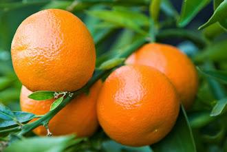 Ανώμαλη «προσγείωση» στο εμπόριο μανταρινιών σε Λακωνία και Αργολίδα