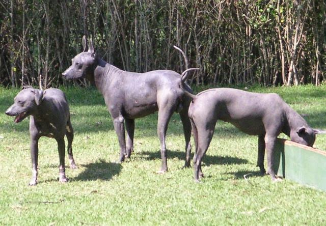 Three Mexican Hairless Dogs Hypoallerginc Dogs