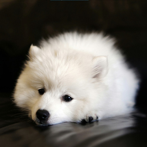 White Dog Wallpaper Engine