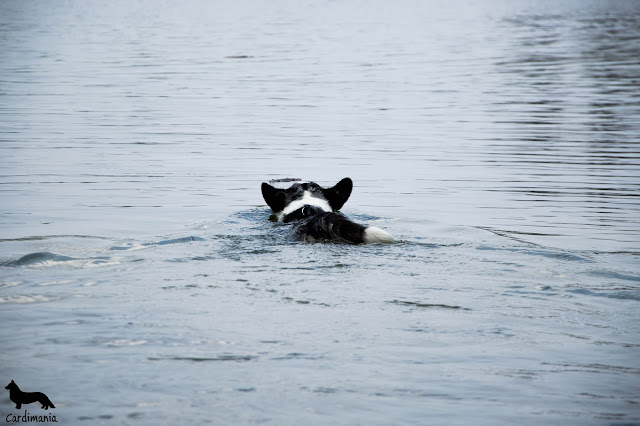 jezioro białe, jezioro, pies pływa, piesbiba, kąpieli, z psem nad jeziorem, podróże z psem, z psem nad jeziorem