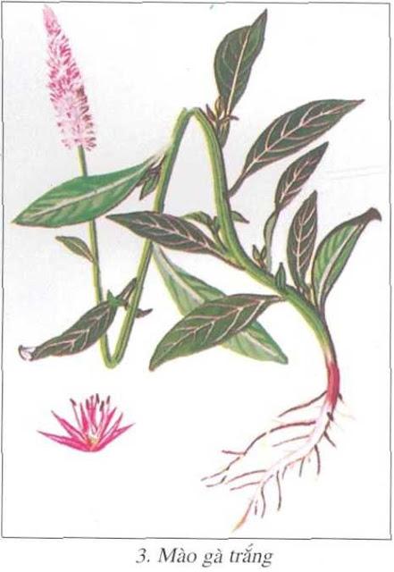 Mào gà trắng - Celosia argentea - CẦM MÁU
