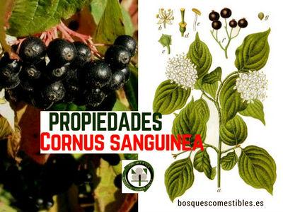 Cornejo, Cornus sanguinea, tiene propiedades antirrábica antiguamente, la corteza tiene malato de calcio