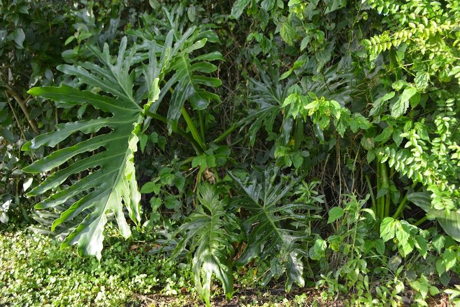 Philodendron bipinnatifidum, Nictinastia. Ejemplos de nictinastias. Nastias. Ciclos diarios en las plantas y sueño