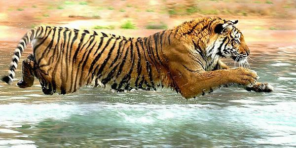 معلومات وصور + فديو عن النمور