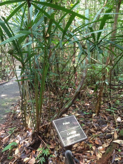 Licualia petiolulata