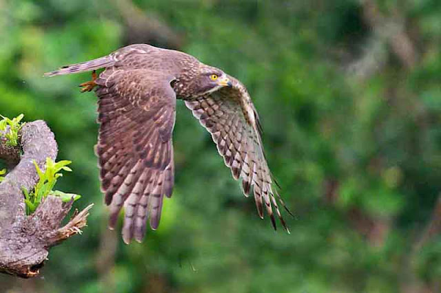 bird, flight, Grey-faced Buzzard Eagle, Okinawa