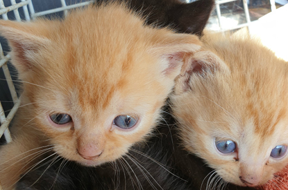 two ginger kittens with blue eyes