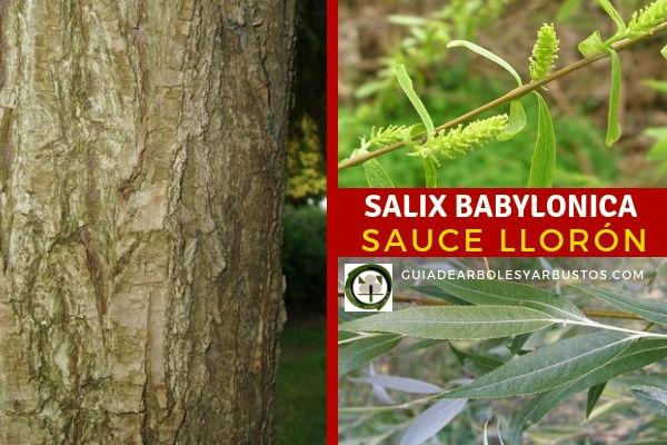Salix Babylonica, sauce llorón, es un árbol de hoja caduca, largas y flexibles e incapaces de sostener