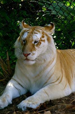 Eles são, invariavelmente, pelo menos em parte, tigres-de-bengala. Alguns tigres dourados carregam o gene do tigre-branco, e, quando esses dois tigres acasalam, eles podem produzir alguns descendentes brancos sem listras.