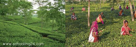 Tea' - Essay or Composition Writing - Education