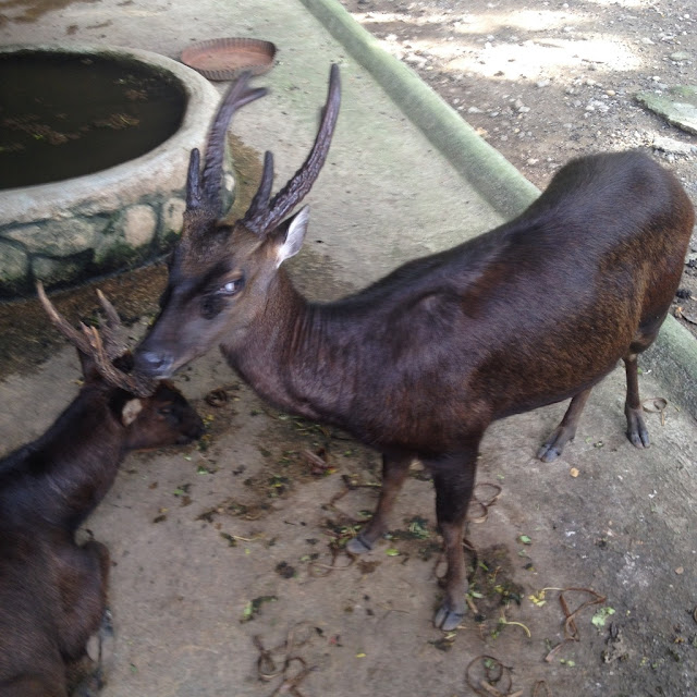 Philippine brown deer at Crocolandia Park