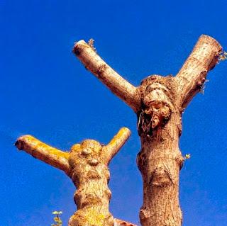 Cuando éramos niños jugábamos junto a unos  árboles que tenían formas humanas. Esos árboles han sido arrancados junto con otros muchos que  han sido destruidos recientemente. En la foto  podemos ver dos árboles desmochados que  parecen también tener rostros humanos. El desmochado enferma a los árboles  y puede incluso matarlos.