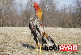 Ayam Bangkok, Ayam Jago
