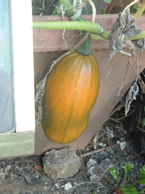 Close up of an elongated pumpkin, growing in a container