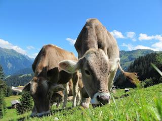 pixabay.com/en/cows-cow-austria-pasture-sky-blue