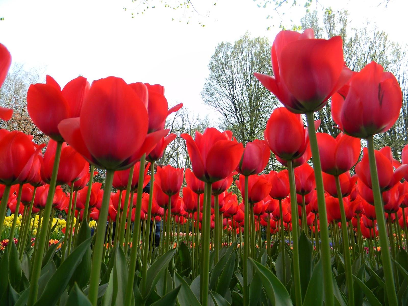 gambar gambar pensil mewarnai bunga tulip kartun di