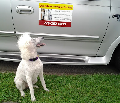 White poodle looking at magnet on truck