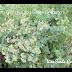 Kinh Giới Hy Lạp,Greek Oregano,Origanum heracleoticum,ORI00138