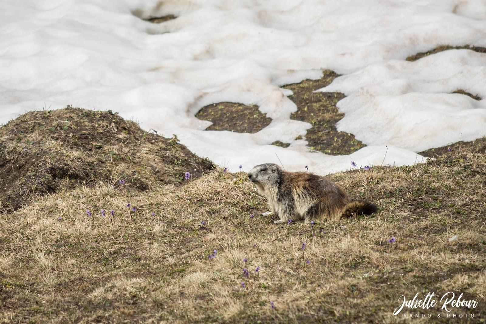 Marmotte - Parc National de la Vanoise