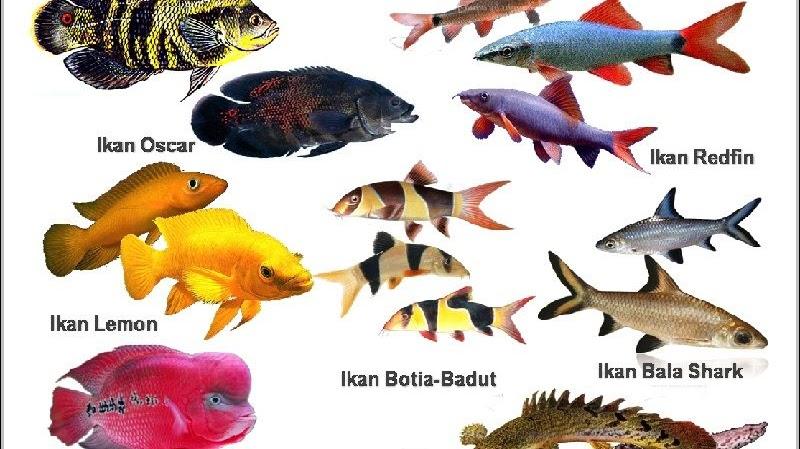 Nama Nama Ikan Hias Air Tawar Air Laut Air Payau Beserta Latinnya Terlengkap