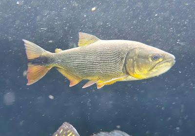 Golden Dorado Ikan Predator Tipe Tengah