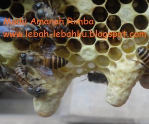 gambar foto telur calon ratu lebah madu
